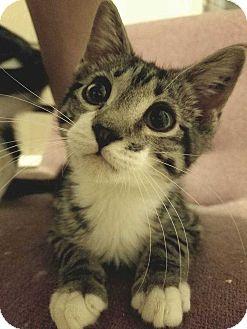 Domestic Shorthair Cat for adoption in Topeka, Kansas - Franklin