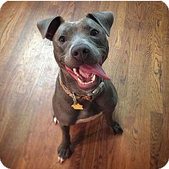 Pit Bull Terrier/Staffordshire Bull Terrier Mix Dog for adoption in Huntington, New York - Babette