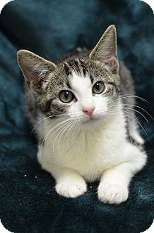 Domestic Shorthair Kitten for adoption in Atlanta, Georgia - Shutter Fly161704