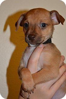 Italian Greyhound/Terrier (Unknown Type, Medium) Mix Puppy for adoption in Arlington, Washington - York,  8 week It Greyhound-terrier puppy