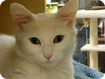Domestic Mediumhair Cat for adoption in Manchester, New Hampshire - Powder; I'm at Petsmart!