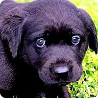 Adopt A Pet :: MISS EBONY)OUR LITTLE CUDDLER! - Wakefield, RI