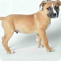 Adopt A Pet :: CHOCOLATE - Ukiah, CA