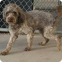 Adopt A Pet :: Osito - Aurora, CO