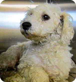 Poodle (Miniature)/Maltese Mix Dog for adoption in Thousand Oaks, California - Bruce