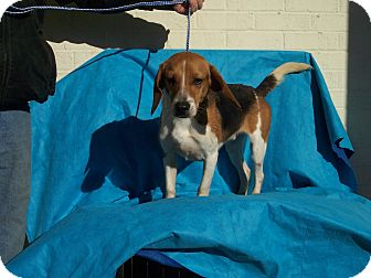 Beagle Mix Dog for adoption in Germantown, Maryland - Billy