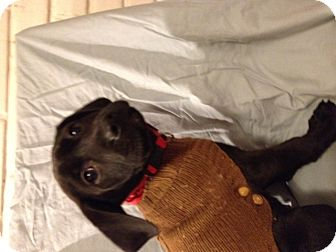 Labrador Retriever Mix Puppy for adoption in Manchester, Connecticut - Cooper
