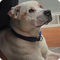 Adopt A Pet :: Aries - Dearborn, MI