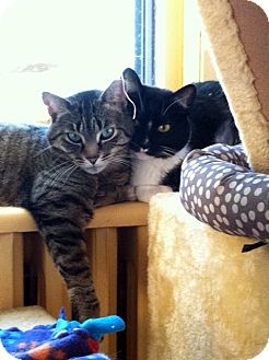 Domestic Shorthair Cat for adoption in St. Paul, Minnesota - Sweet Pea and Birdie
