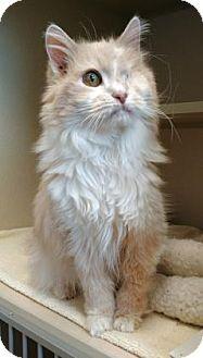 Domestic Shorthair Cat for adoption in Denver, Colorado - Bella