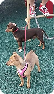 Dachshund/Chihuahua Mix Dog for adoption in Marrero, Louisiana - Dante & Reese - In Foster