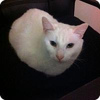 Domestic Shorthair Cat for adoption in Philadelphia, Pennsylvania - Perri