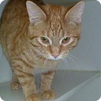 Adopt A Pet :: Creamsicle - Hamburg, NY