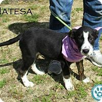 Adopt A Pet :: Natesa - Kimberton, PA