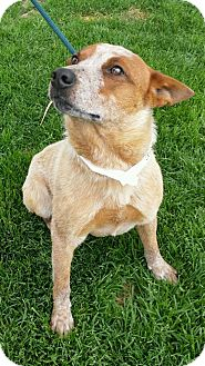 Australian Cattle Dog Mix Dog for adoption in Corrales, New Mexico - Zack