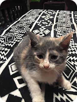 Domestic Shorthair Kitten for adoption in Zanesville, Ohio - Princess Leia