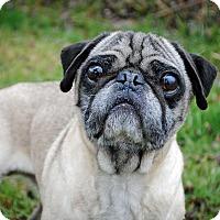 Pug Mix Dog for adoption in Rochester Hills, Michigan - Milo