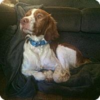 Adopt A Pet :: TX/Blue - St Louis, MO