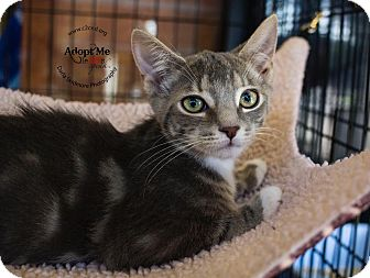 Domestic Shorthair Kitten for adoption in Mooresville, North Carolina - A..  Milford