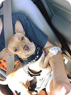 Chihuahua Mix Dog for adoption in Whitestone, New York - Oswald