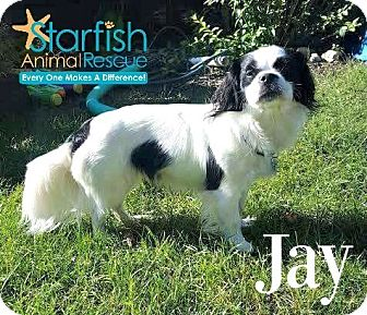 Cavalier King Charles Spaniel Mix Dog for adoption in Plainfield, Illinois - Jay