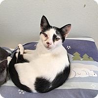 Adopt A Pet :: Purrito - Westminster, CA