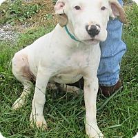 Terrier (Unknown Type, Medium)/Dalmatian Mix Puppy for adoption in Reeds Spring, Missouri - Diego
