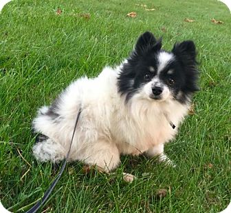 Pomeranian Dog for adoption in Columbia, Maryland - Domino