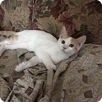 Domestic Shorthair Kitten for adoption in Brick, New Jersey - Fueler