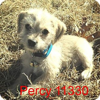 Cairn Terrier Mix Puppy for adoption in baltimore, Maryland - percy