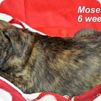 Adopt A Pet :: Moses - Yreka, CA