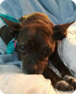 Boston Terrier Mix Dog for adoption in Providence, Rhode Island - Charlie Girl in RI $199