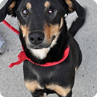 Shepherd (Unknown Type) Mix Dog for adoption in Fairfax Station, Virginia - Carliee