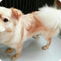Adopt A Pet :: Faith - Fairfax, VA
