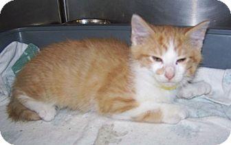 Domestic Mediumhair Kitten for adoption in Dover, Ohio - Roger