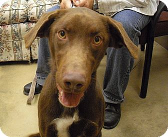 Labrador Retriever Mix Dog for adoption in Wickenburg, Arizona - Percy