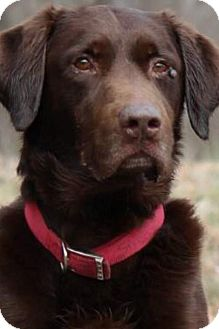 Labrador Retriever Dog for adoption in Allentown, Pennsylvania - Storm