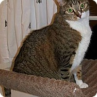 American Shorthair Cat for adoption in New York, New York - Patty