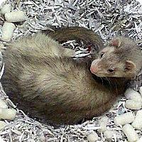 Adopt A Pet :: Frankie - Buxton, ME