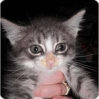 Adopt A Pet :: Cosmo - Warren, MI