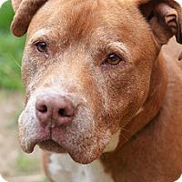 Adopt A Pet :: PETEY fka BERRY - Philadelphia, PA