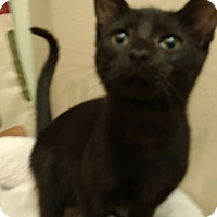 Domestic Shorthair Kitten for adoption in Tampa, Florida - Jonah
