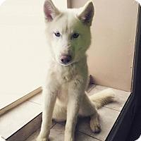 Adopt A Pet :: Koda - Matawan, NJ