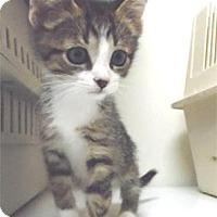 Domestic Shorthair Kitten for adoption in Waupaca, Wisconsin - Furnando