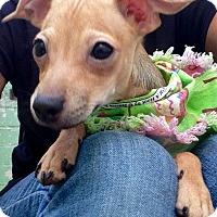 Adopt A Pet :: Pearl (BH) - Santa Ana, CA
