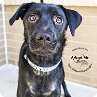 """Labrador Retriever Mix Dog for adoption in Mooresville, North Carolina - Carowinds """"Cara"""""""