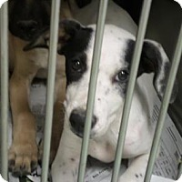 Hound (Unknown Type) Mix Puppy for adoption in Cleveland, Mississippi - GRETEL