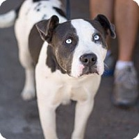 Pit Bull Terrier Mix Dog for adoption in Fresno CA, California - Molly Moo