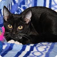 Adopt A Pet :: Paris (Purrty Girl's Kitten) - Marietta, OH