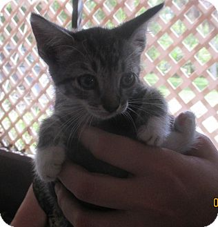 Domestic Shorthair Kitten for adoption in New Smyrna Beach, Florida - Tootsie